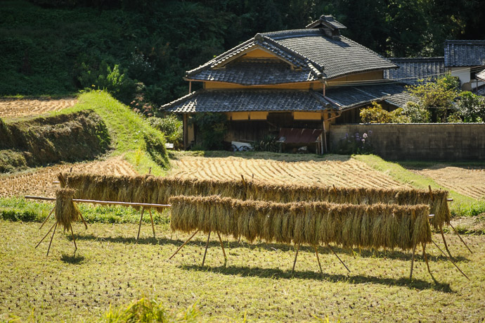 Out to Dry rice after the harvest, Katano City, Osaka Prefecture, Japan — Oct 2011 -- Katano, Osaka, Japan -- Copyright 2011 Jeffrey Friedl, http://regex.info/blog/ -- This photo is licensed to the public under the Creative Commons Attribution-NonCommercial 4.0 International License http://creativecommons.org/licenses/by-nc/4.0/ (non-commercial use is freely allowed if proper attribution is given, including a link back to this page on http://regex.info/ when used online)