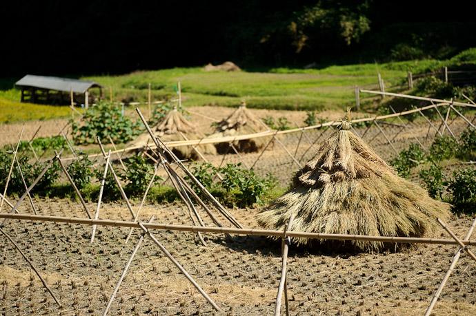 Rice-Plant Trees? -- Ikoma, Nara, Japan -- Copyright 2011 Jeffrey Friedl, http://regex.info/blog/