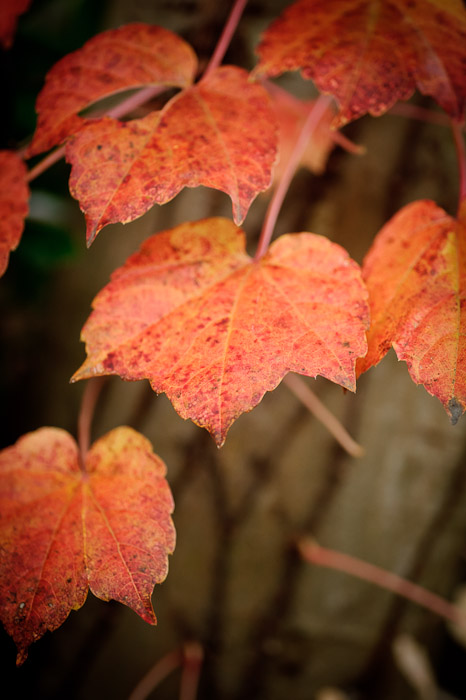 golden red-orange leaves