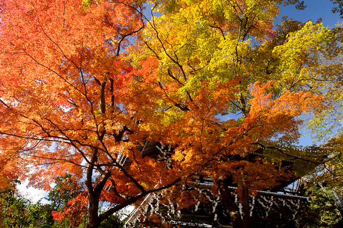 fall foliage towering above the entrance to the Yoshiminedera Temple (善峯寺)