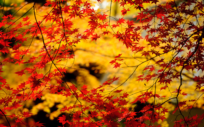 amazing fall foliage, behind the Imakumano Kannonji Temple (今熊野観音寺) in Kyoto, Japan