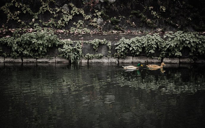 some ducks on the Biwako Canal in Kyoto Japan