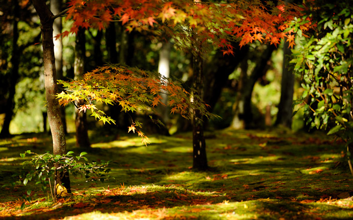 a fall-folliage scene from the Ryoanji Temple (龍安寺), Kyoto Japan