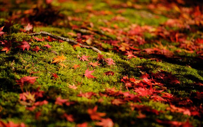 a fall-folliage scene from the Ryoanji Temple (龍安寺), Kyoto Japan