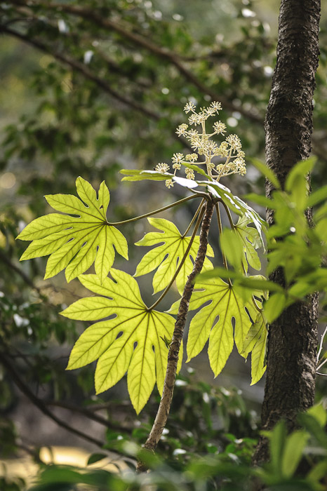 Funky Leaves  --  Kajyuuji Temple (勧修寺)  --  Kyoto, Japan  --  Copyright 2011 Jeffrey Friedl, http://regex.info/blog/
