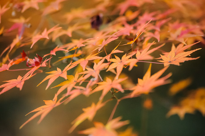 Lingering Color still on Dec 15  --  Kajyuuji Temple (勧修寺)  --  Kyoto, Japan  --  Copyright 2011 Jeffrey Friedl, http://regex.info/blog/