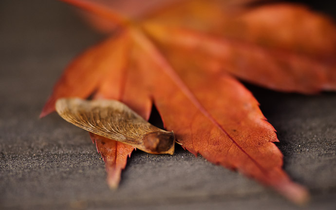 desktop background image of a maple seed and leaf, at the Kajuji Temple (勧修寺), Kyoto Japan  --  Generations  --  Kajyuuji Temple (勧修寺)  --  Copyright 2011 Jeffrey Friedl, http://regex.info/blog/