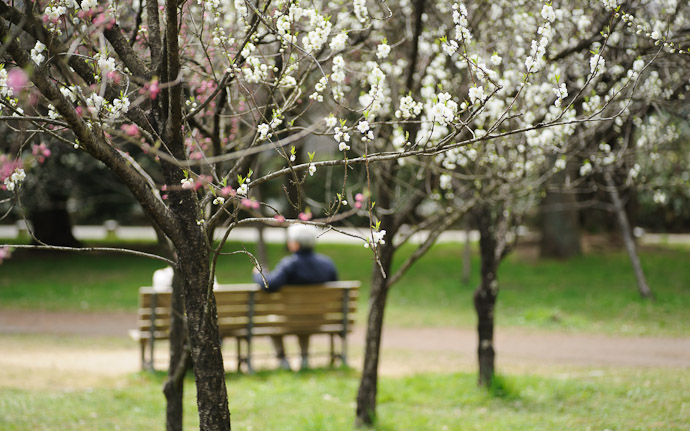 an elderly couple enjoying the blossoms on the grounds of the old imperial palace, Kyoto Japan