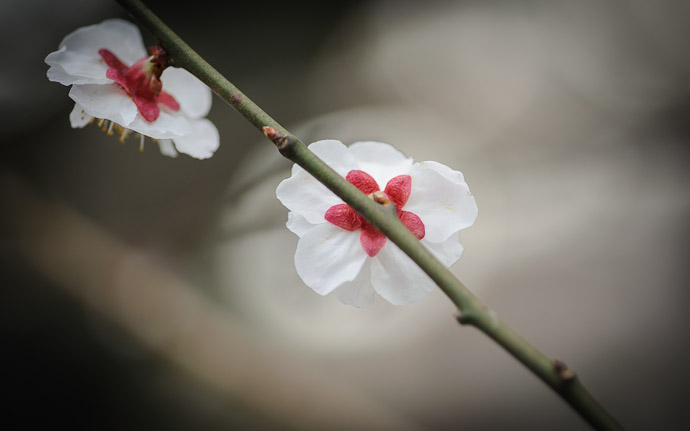 plum blossms in Kyoto, Japan