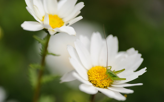 a tiny grasshopper sitting in a tiny white flower