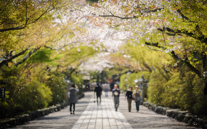 the entrance path to the Ishiyama-dera Temple (石山寺) with a mild flurry of cherry-blossom petals