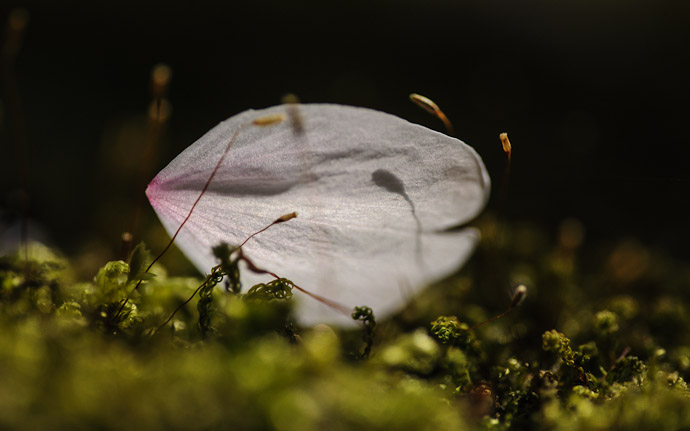 a single pink and white cherry-blossom petal sitting on a bed of moss