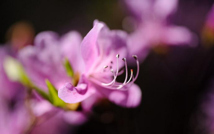 a purple azalea (rhododendron dilatatum) 三葉躑躅