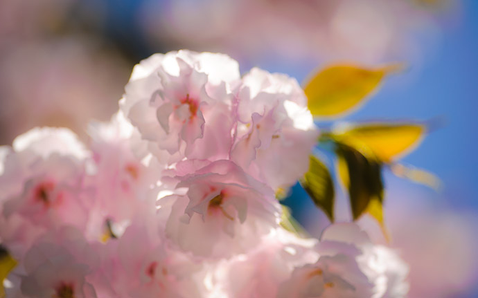 desktop background image of fluffy cherry blossoms at the Joshoko-ji Temple (常照皇寺) in the mountains of northern Kyoto Japan  --  Fluffy Sakura It's been a while since we had any on the blog  --  Joushoukou-ji Temple (常照皇寺)  --  Copyright 2012 Jeffrey Friedl, http://regex.info/blog/