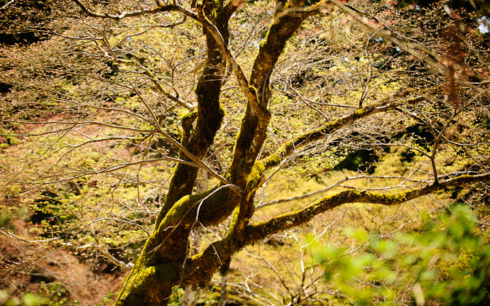 desktop background image of an interesing tree at the Joshoko-ji Temple (常照皇寺) in the mountains of northern Kyoto Japan  --  Another Interesting Tree  --  Joushoukou-ji Temple (常照皇寺)  --  Copyright 2012 Jeffrey Friedl, http://regex.info/blog/