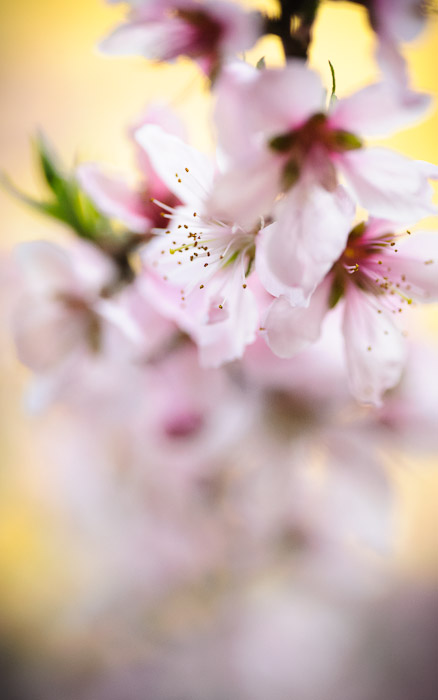 desktop background image of delicate pink peach blossoms in Kyoto, Japan  --  Shy  --  Mountain House Hasegawa (山の家 はせがわ)  --  Copyright 2012 Jeffrey Friedl, http://regex.info/blog/