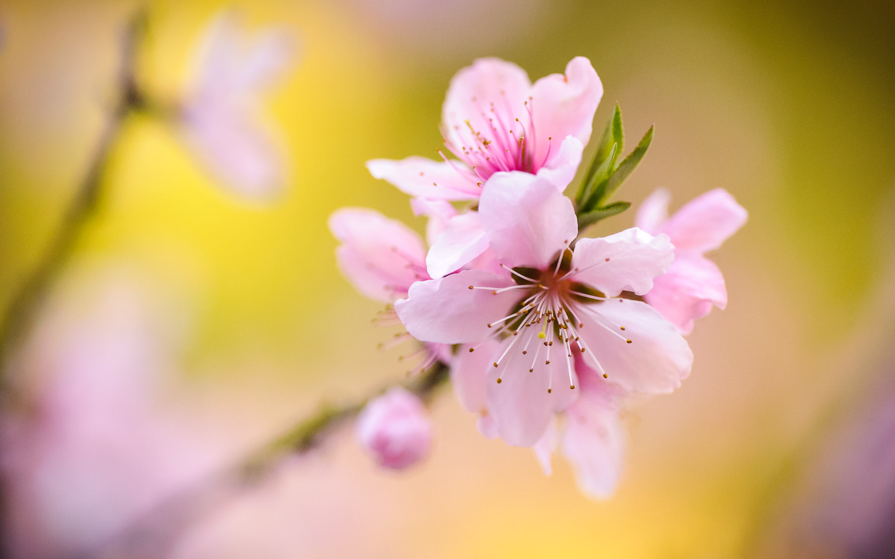 Desktop Background Image Of Delicate Pink Peach Blossoms In Kyoto Japan Pretty As