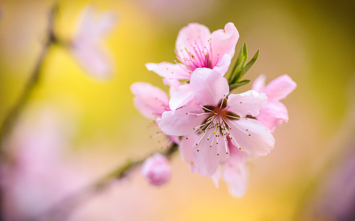 desktop background image of delicate pink peach blossoms in Kyoto, Japan  --  Pretty as a Peach peach blossom in the mountains of Kyoto, Japan  --  Mountain House Hasegawa (山の家 はせがわ)  --  Copyright 2012 Jeffrey Friedl, http://regex.info/blog/