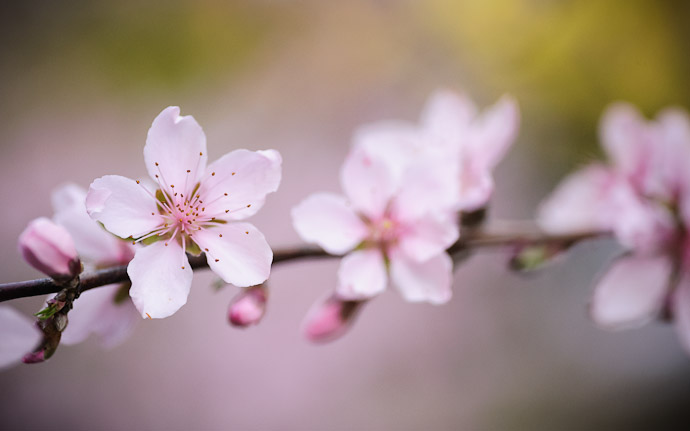 desktop background image of delicate pink peach blossoms in Kyoto, Japan  --  Mountain House Hasegawa (山の家 はせがわ)  --  Copyright 2012 Jeffrey Friedl, http://regex.info/blog/