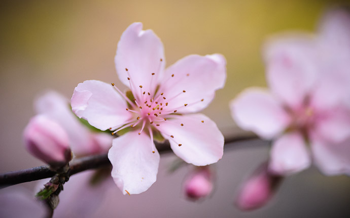 desktop background image of delicate pink peach blossoms in Kyoto, Japan  --  Just. Too. Perfect.  --  Mountain House Hasegawa (山の家 はせがわ)  --  Copyright 2012 Jeffrey Friedl, http://regex.info/blog/