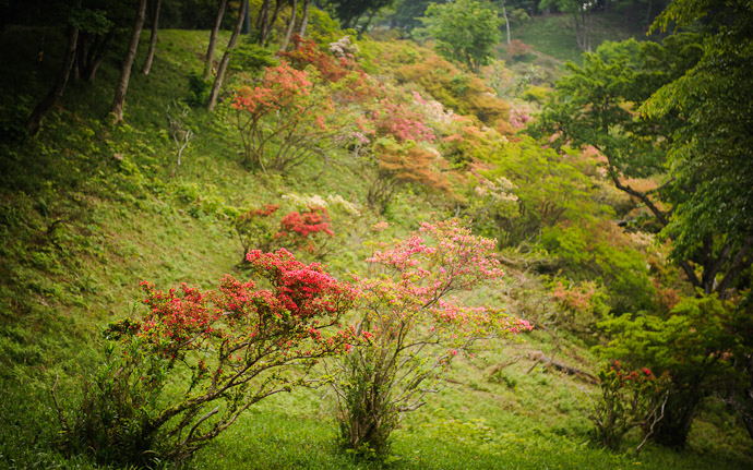 desktop background image of azaleas on Mt. Hiei (比叡山), Kyoto Japan  --  Azalea Hillside  --  Copyright 2012 Jeffrey Friedl, http://regex.info/blog/