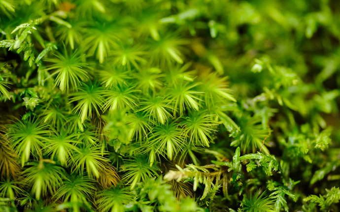 desktop background image of moss at the Gioji Temple (), Kyoto Japan  --  shot #15 Moss Detail #1  --  Gioji Temple ()  --  Copyright 2012 Jeffrey Friedl, http://regex.info/blog/