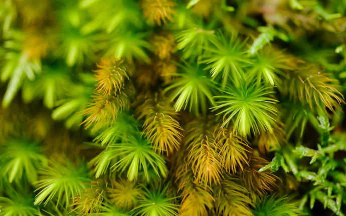 desktop background image of moss at the Gioji Temple (), Kyoto Japan  --  shot #16 Moss Detail #2: A Bit Closer  --  Gioji Temple ()  --  Copyright 2012 Jeffrey Friedl, http://regex.info/blog/