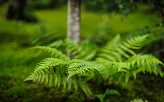 desktop background image of ferns and moss at the Gioji Temple (祇王寺), Kyoto Japan  --  Ferns and Moss  --  Gioji Temple (祇王寺)  --  Copyright 2012 Jeffrey Friedl, http://regex.info/blog/