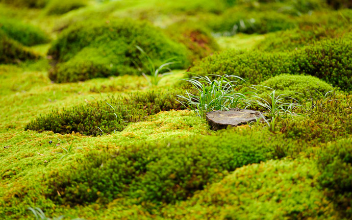 desktop background image of a garden/moss scene at the Gioji Temple (祇王寺), Kyoto Japan  --  Tuft  --  Gioji Temple (祇王寺)  --  Copyright 2012 Jeffrey Friedl, http://regex.info/blog/