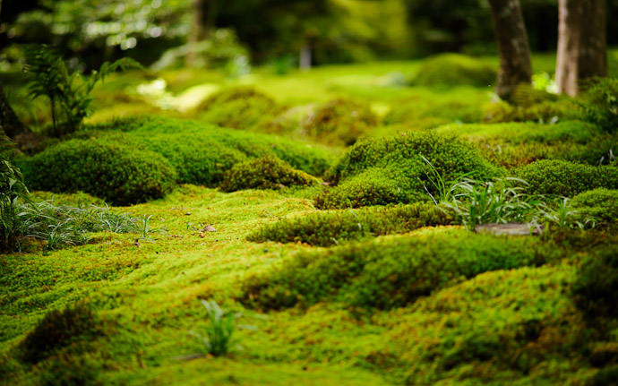 desktop background image of a garden/moss scene at the Gioji Temple (祇王寺), Kyoto Japan  --  It's a Jungle Out There moss garden at the Gioji Temple (祇王寺) Kyoto, Japan  --  Gioji Temple (祇王寺)  --  Copyright 2012 Jeffrey Friedl, http://regex.info/blog/