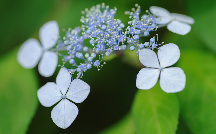desktop background image of pretty flowers  --  Budding Hydrangea  --  Gioji Temple (祇王寺)  --  Kyoto, Japan  --  Copyright 2012 Jeffrey Friedl, http://regex.info/blog/