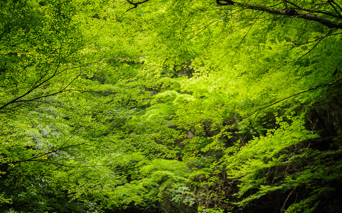 desktop background image of layers of detailed leaves in the valley of the Kuuya-taki Waterfall (空也滝) in Kyoto Japan  --  Layers and Layers  --  Kuuya-taki Waterfall (空也滝)  --  Copyright 2012 Jeffrey Friedl, http://regex.info/blog/