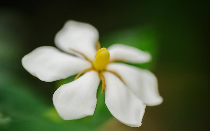 desktop background image of a pretty flower at the Shouseien Temple (渉成園), Kyoto Japan  --  Septapus Flower  --  Shouseien Temple (渉成園)  --  Copyright 2012 Jeffrey Friedl, http://regex.info/blog/