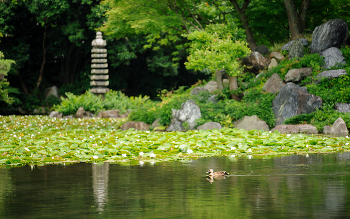 desktop background image of a nature scene at the Shoseien Temple (渉成園) in Kyoto, Japan  --  Ducky needs no bridge  --  Shouseien Temple (渉成園)  --  Copyright 2012 Jeffrey Friedl, http://regex.info/blog/