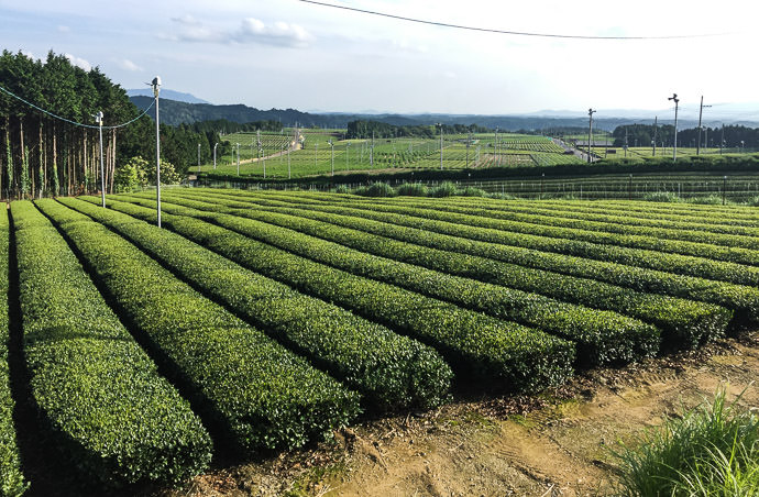Tea Fields -- Koka, Shiga, Japan -- Copyright 2016 Jeffrey Friedl, http://regex.info/blog/ -- This photo is licensed to the public under the Creative Commons Attribution-NonCommercial 4.0 International License http://creativecommons.org/licenses/by-nc/4.0/ (non-commercial use is freely allowed if proper attribution is given, including a link back to this page on http://regex.info/ when used online)