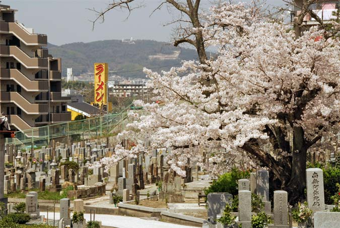 Cherry blossoms, a cemetary, and a huge sign for a ramen noodle shop, in Kyoto Japan, April 2006