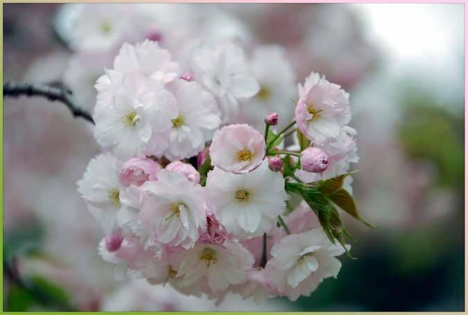 Just-blooming cherry tree, at the Takaragaike Children's Park, Kyoto Japan