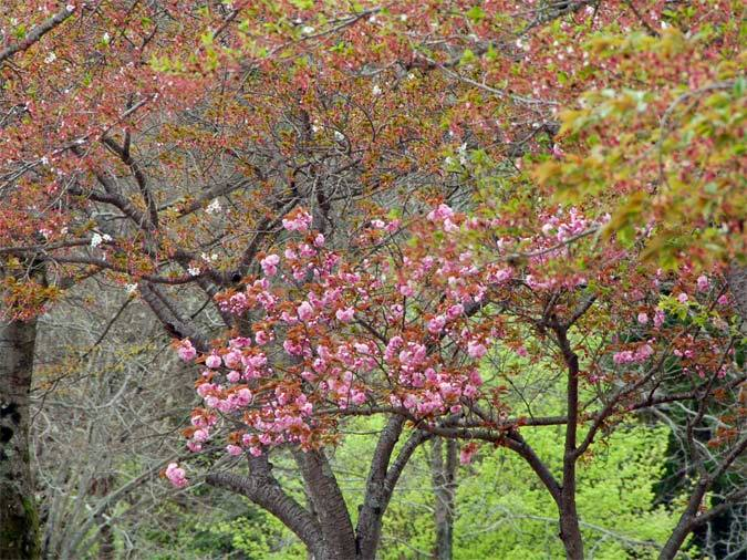 Cherry Trees in various stages of blossoming, Kyoto Japan, suitable for use as a desktop background image