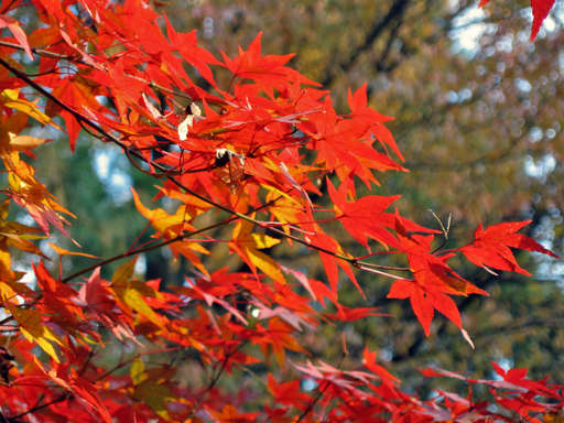 Momiji (紅葉 — Japanese maple) at Ryouanji, Kyoto Japan