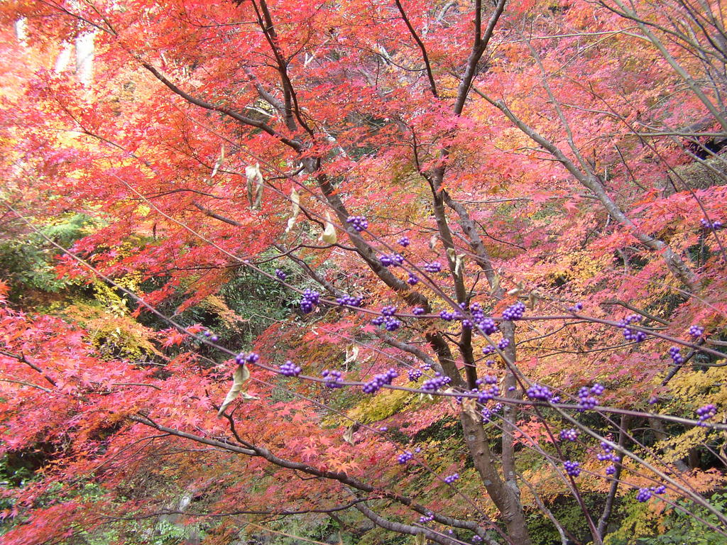 Fall colors and purple berries in Kyoto, Japan. Photo by Katsunori Shimada
