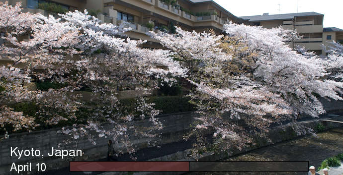 time lapse of cherry-blossoms blooming, in Kyoto Japan